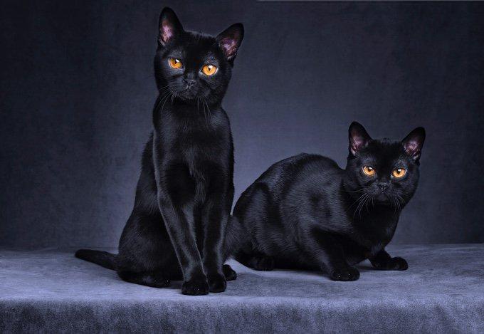 TOP 10 des races de chats qui s'entendent bien avec les chiens :  bombay