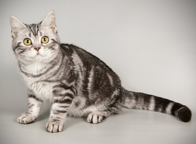 American Shorthair Cat For Sale Near Me