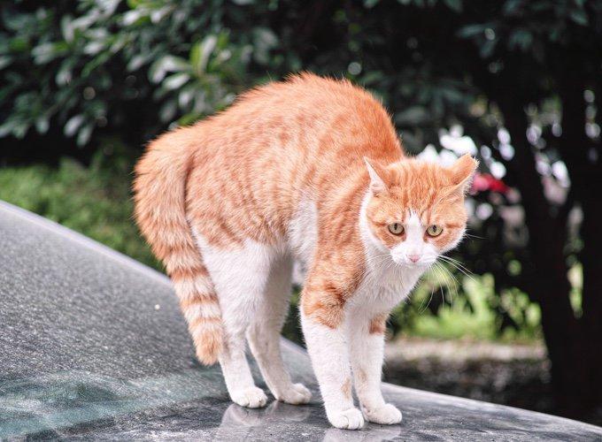 comportamiento de gato