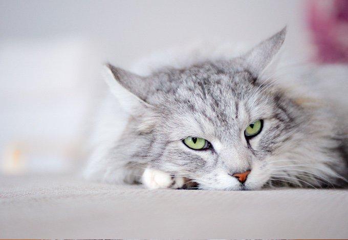 TOP 10 des races de chats qui s'entendent bien avec les chiens :  norvégien
