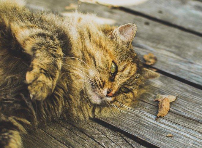 Le pelage du chat