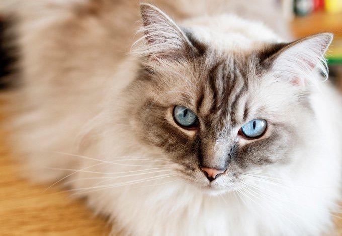TOP 10 des races de chats qui s'entendent bien avec les chiens : ragdoll