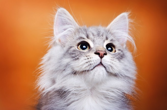 TOP 10 des races de chats qui s'entendent bien avec les chiens : sibérien