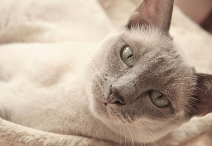 TOP 10 des races de chats qui s'entendent bien avec les chiens : tonkinois