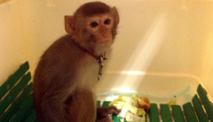 La Fondation 30 Millions d'Amis recueille un singe errant à Villepinte