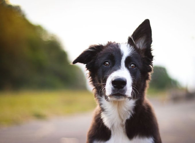 border-collie-05-2016