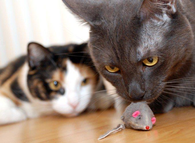 Chat joue avec une souris
