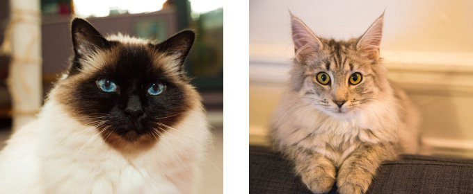 Birman:Norwegian