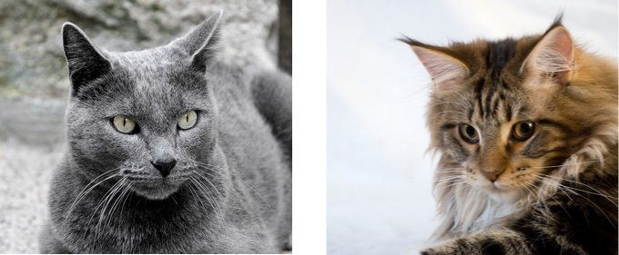 Chartreux:MaineCoon