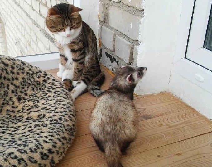Amitié chat furet