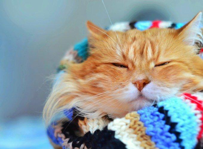chat roux dans une écharpe