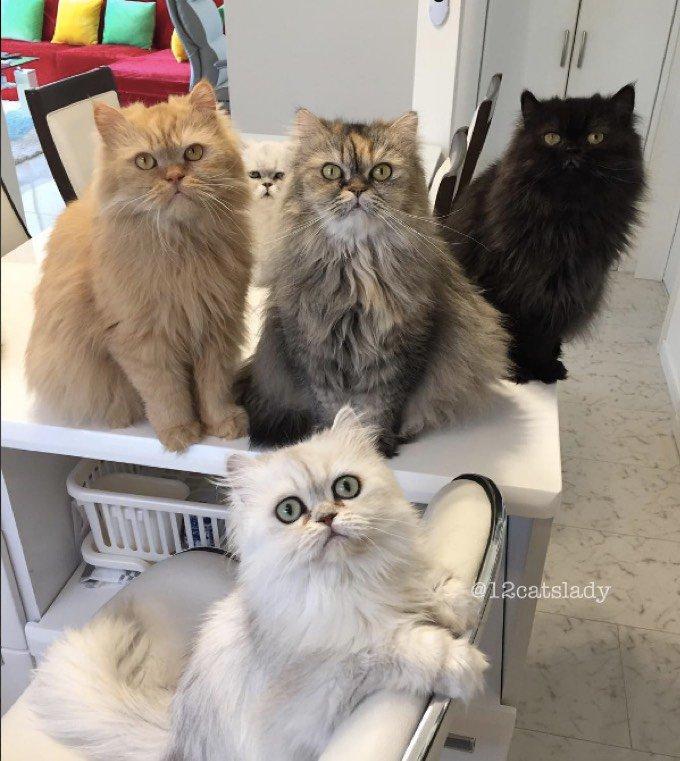 Femme avec douze chats Persans