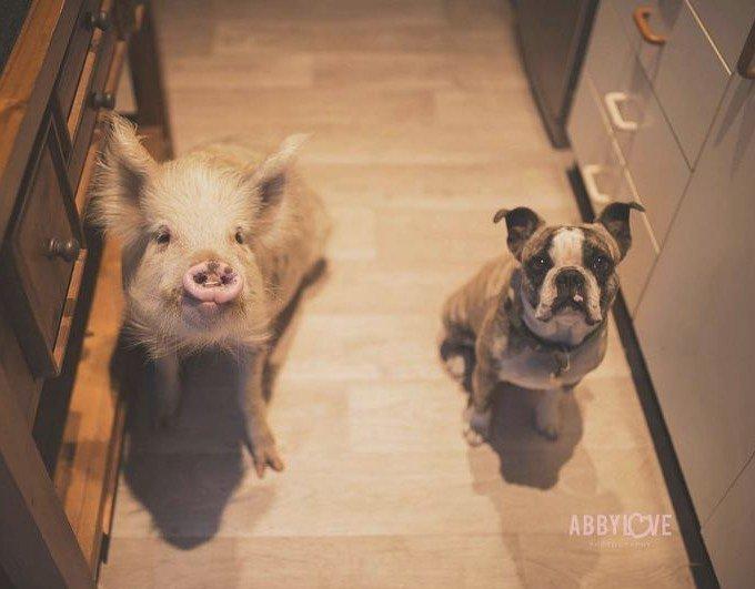amitié porcelet chiens