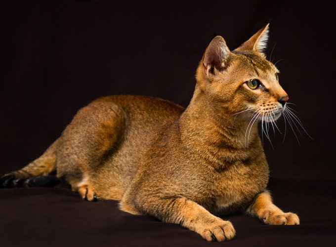 7 cat breeds that look like wild animals - Yummypets