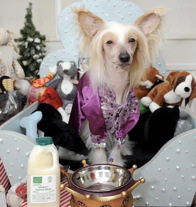 chien couvert de cadeaux à Noël