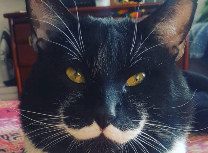 dali, chat moustache