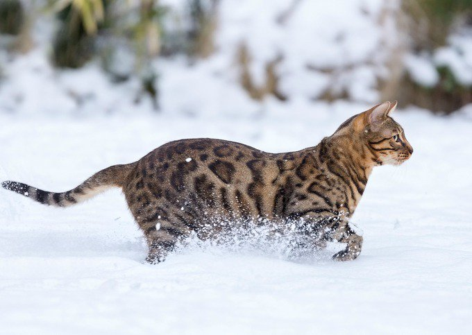 8e8a1e9638 15 Things you didn t know about the Bengal cat - Yummypets