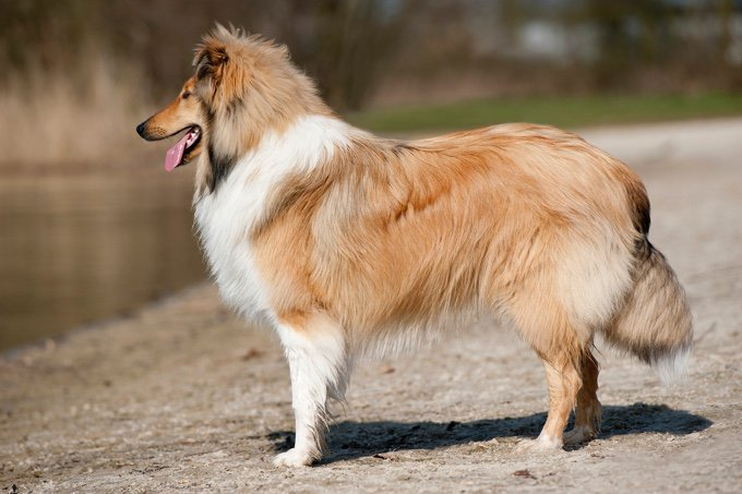 Dog Scotch Collie
