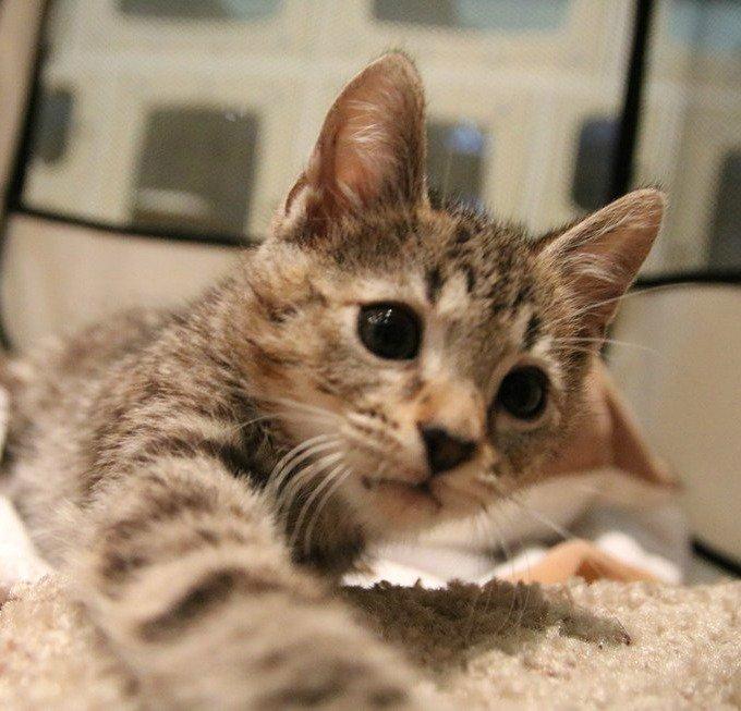 adoption chaton