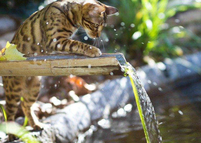 Bengal jouant avec de l'eau