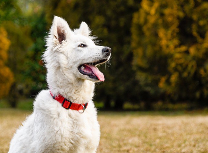 Top 10 White Dog Breeds Yummypets