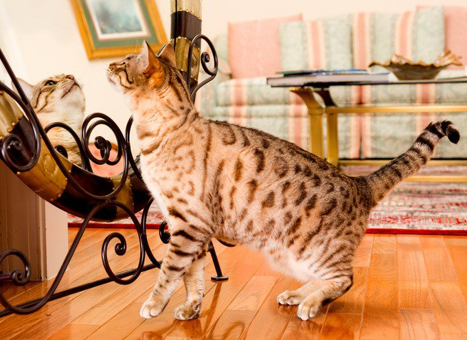 Chat Bengal se regardant dans un miroir