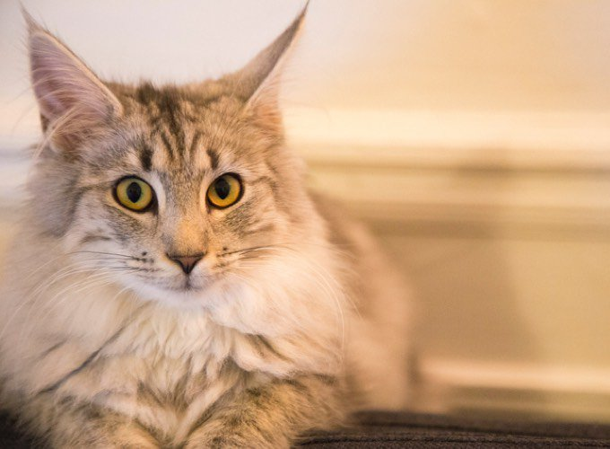 5 of the largest cat breeds - Yummypets