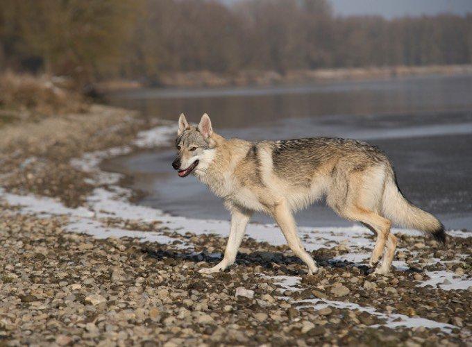 chien-loup saarloos