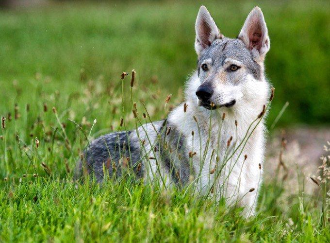 chien-loup tchecoslovaque