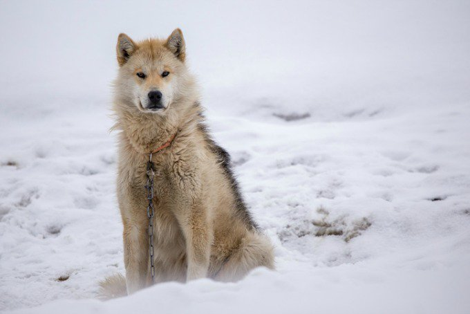 chien traineau groenlandais