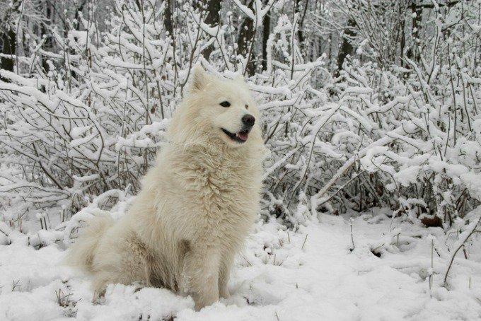 samoyede neige