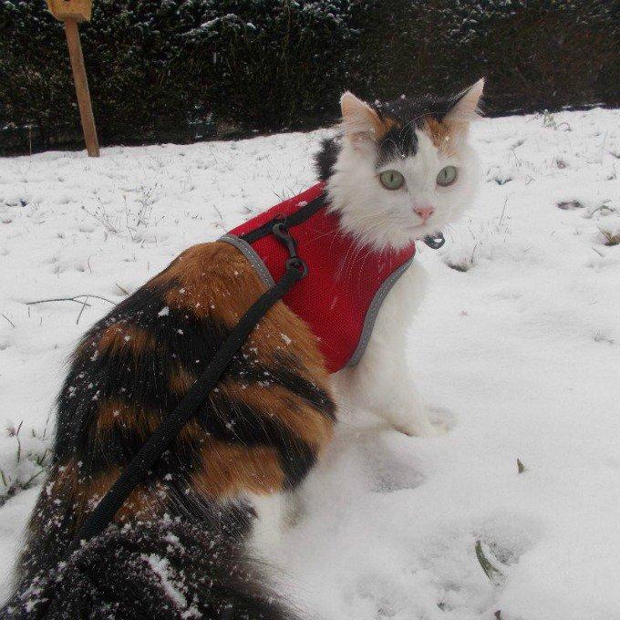 chat harnais laisse neige