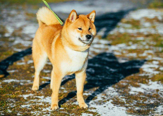 Race de chien japonais - Shiba Inu