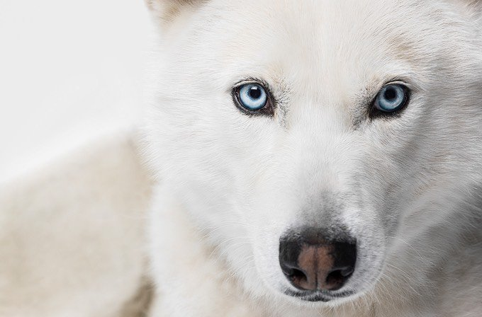 yeux bleu chien husky