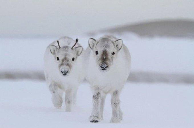 Baby White Moose
