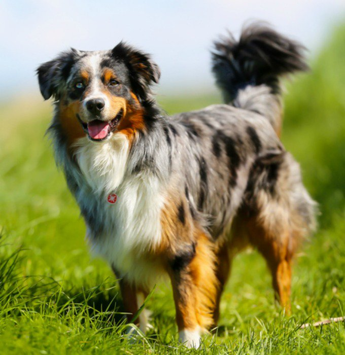most obedient dog breeds