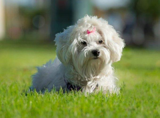 bichon chien de petite taille