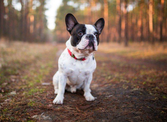 bouledogue chien de petite taille