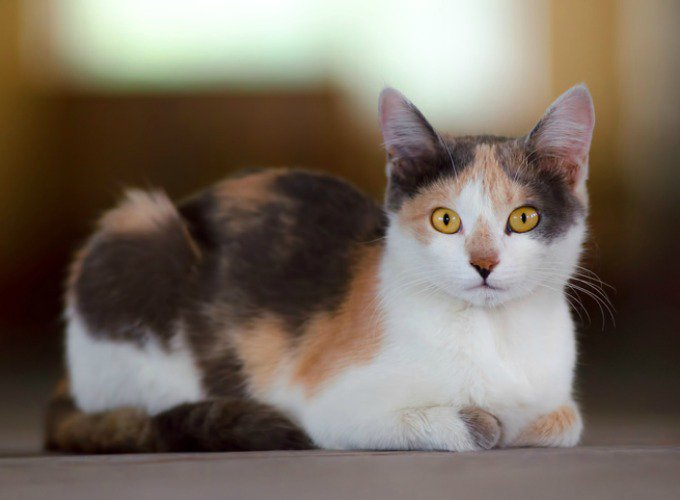 what is a calico cat yummypets