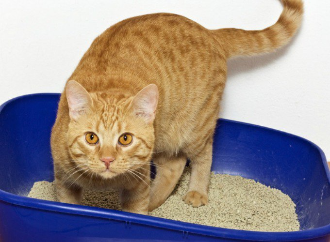 urine de chat