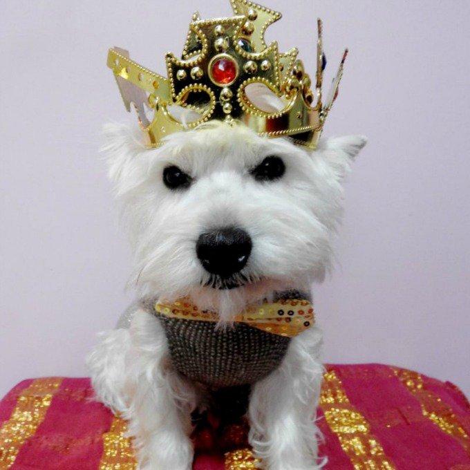 chien westie couronne