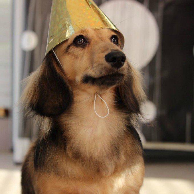 chien teckel chapeau