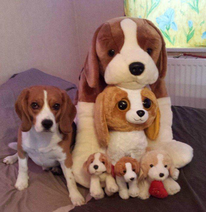 enzo beagles