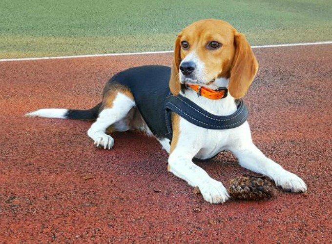 lexie beagles
