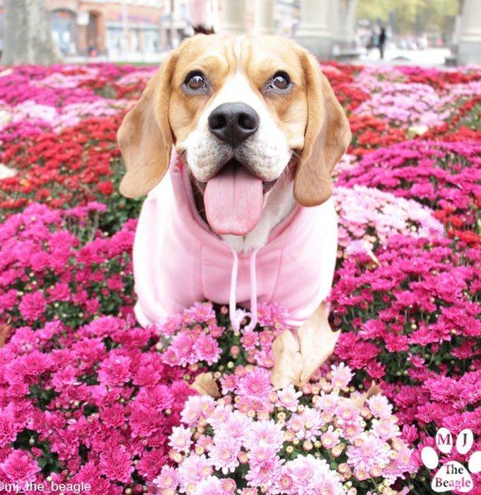 mj beagles
