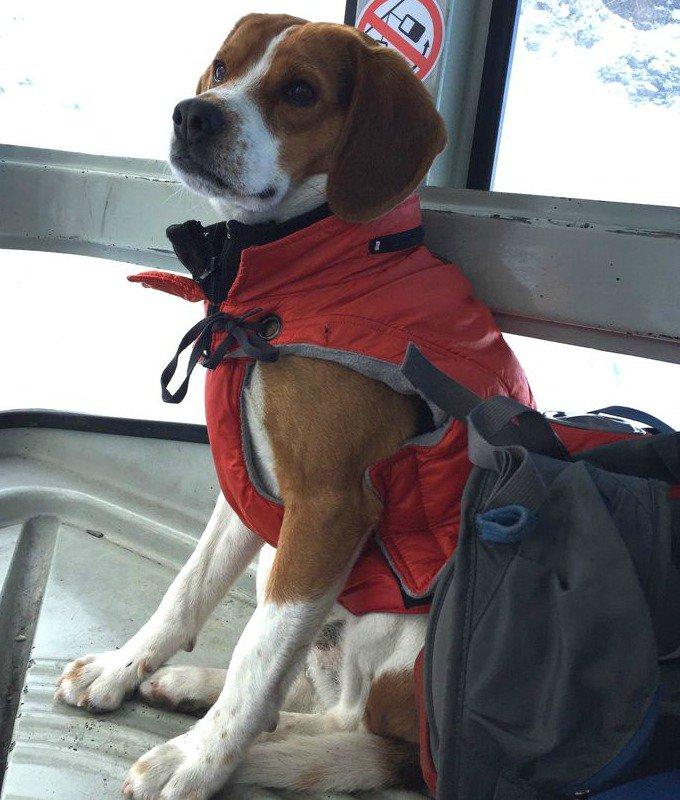 pilou beagles