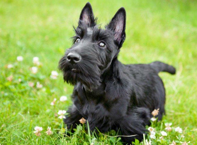 scottish terrier chien de petite taille