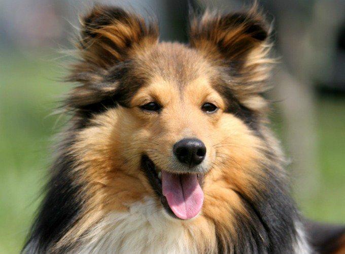 shetland chien de petite taille