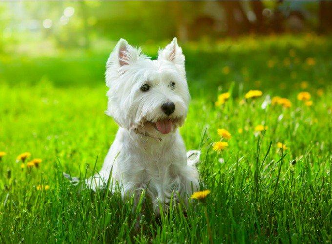 westie chien de petite taille
