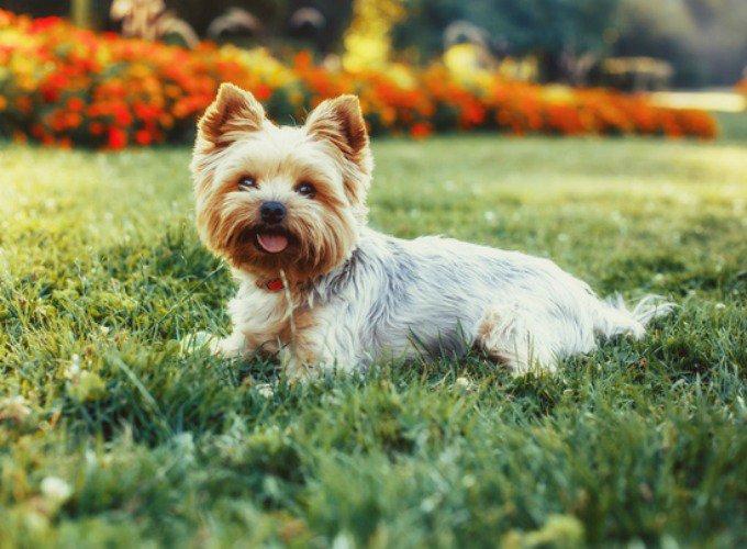 Top 15 des races de chien de petite taille